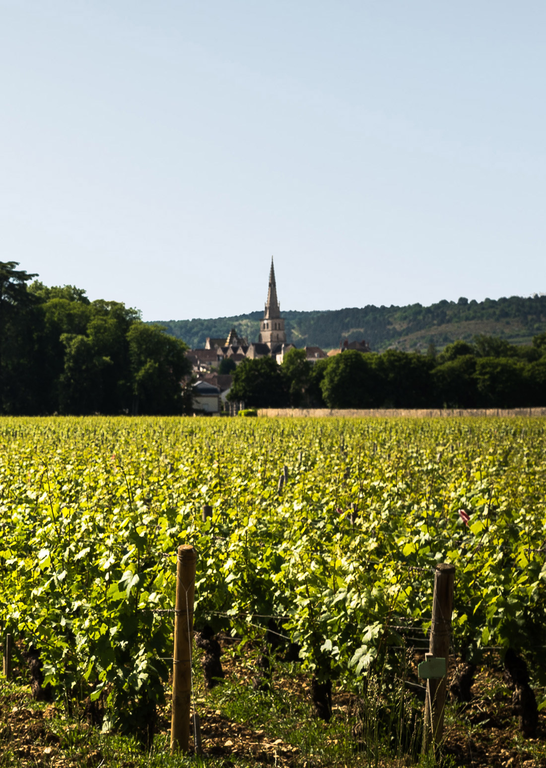 Vineyards in Chambord and its surroundings.